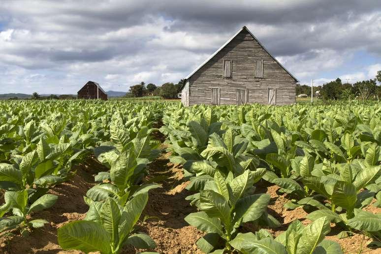 NAICS Code 111910 - Tobacco Farming