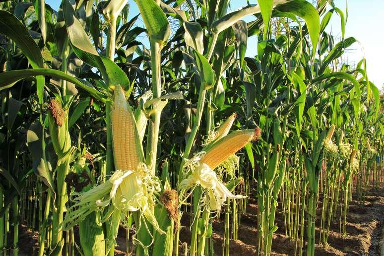 SIC Code 0115 - Corn