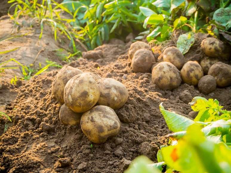 SIC Code 0134 - Irish Potatoes