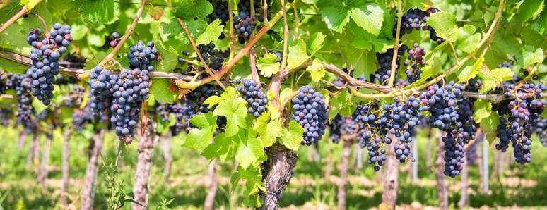 SIC Code 0172 - Grapes
